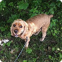 Adopt A Pet :: Joey - Rigaud, QC