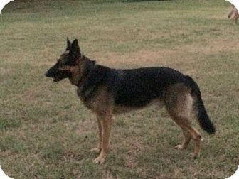 German Shepherd Dog Dog for adoption in Fort Worth, Texas - Titan
