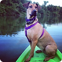 Adopt A Pet :: ELEANOR RIGBY (ELLIE) - Carrollton, TX