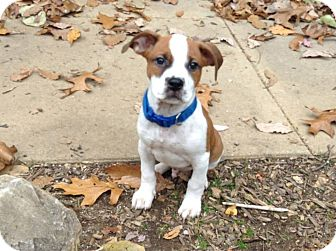 Boxer Mix Puppy for adoption in New Oxford, Pennsylvania - Guvnor