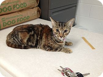 American Shorthair Cat for adoption in Lancaster, Virginia - Abby