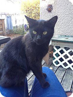 Domestic Shorthair Cat for adoption in Anoka, Minnesota - Lorelei