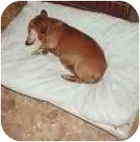 Dachshund/Dachshund Mix Dog for adoption in Cole Camp, Missouri - Omi