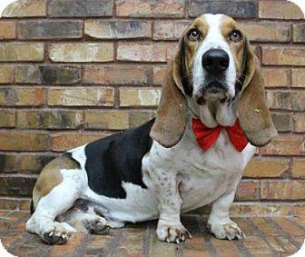 Basset Hound Dog for adoption in Benbrook, Texas - Dhino