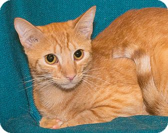 Domestic Shorthair Cat for adoption in Elmwood Park, New Jersey - Jeter