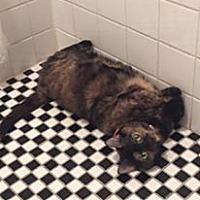 Domestic Mediumhair Cat for adoption in Brooklyn, New York - Beautiful Becky!