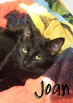 Domestic Shorthair Cat for adoption in Covington, Kentucky - Joan