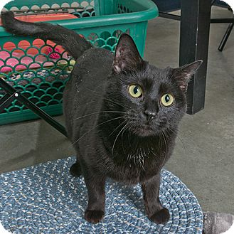 Domestic Shorthair Cat for adoption in Wilmington, Delaware - Quinn