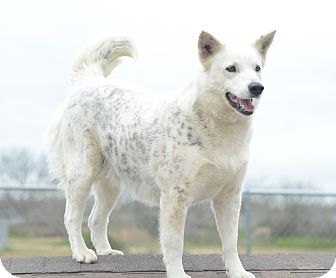 Cattle Dog/Husky Mix Dog for adoption in Iola, Texas - Arctic