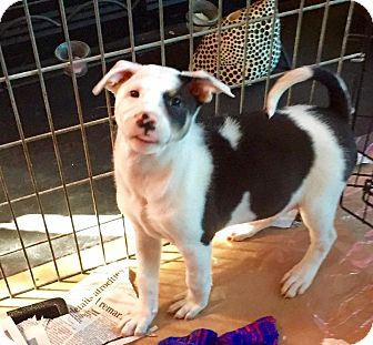 Collie/Pit Bull Terrier Mix Puppy for adoption in Chalfont, Pennsylvania - Pamala