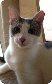 Domestic Shorthair Kitten for adoption in Keller, Texas - Adele