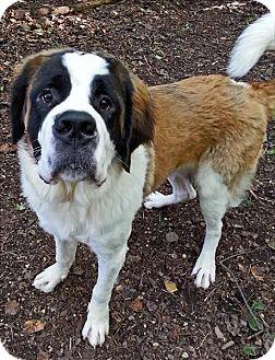 St. Bernard Dog for adoption in Westminster, Maryland - Bernard