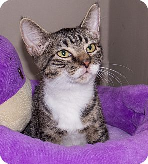Domestic Shorthair Kitten for adoption in Elmwood Park, New Jersey - Alfie
