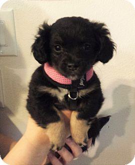 Papillon/Chihuahua Mix Puppy for adoption in Kirkland, Washington - Papillon Mix Puppies!