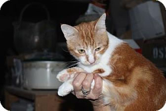 Domestic Shorthair Cat for adoption in Tucson, Arizona - Ruby