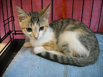 Domestic Shorthair Cat for adoption in Arlington, Virginia - Sasha (& Oyster)