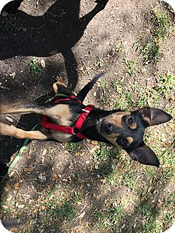 Miniature Pinscher/Manchester Terrier Mix Dog for adoption in Boerne, Texas - Misty