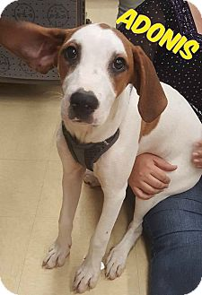 Bloodhound/Boxer Mix Puppy for adoption in WESTMINSTER, Maryland - Adonis
