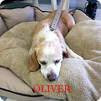 Adopt A Pet :: OLIVER - Ventnor City, NJ