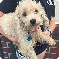 Adopt A Pet :: Precious - Mount Pleasant, SC