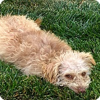 Adopt A Pet :: Hennessy, Maltese Mix - Corona, CA