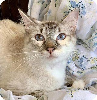 Siamese Cat for adoption in Little Rock, Arkansas - Jewel