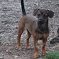 Adopt A Pet :: Opal - ST LOUIS, MO