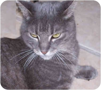 Domestic Shorthair Cat for adoption in Elkton, Maryland - Polly