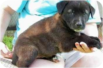 Labrador Retriever/Shepherd (Unknown Type) Mix Puppy for adoption in Franklin, Virginia - Nestle