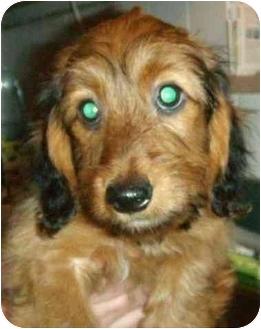 Dachshund Puppy for adoption in House Springs, Missouri - Miranda