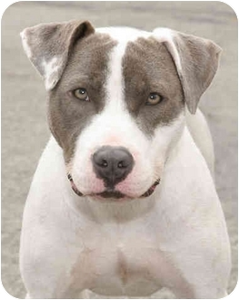 Pointer/American Staffordshire Terrier Mix Dog for adoption in Marina del Rey, California - Poppet
