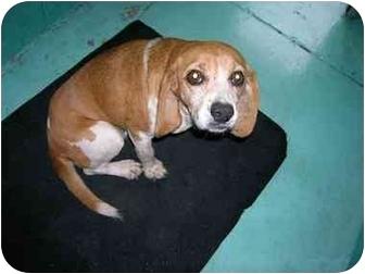 Beagle Dog for adoption in Waldorf, Maryland - Honey Bee