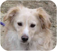 Spaniel (Unknown Type)/Sheltie, Shetland Sheepdog Mix Dog for adoption in Eatontown, New Jersey - Sparkie