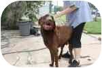 Labrador Retriever Mix Dog for adoption in Parker, Texas - Herschel