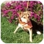 Photo 3 - Beagle/Terrier (Unknown Type, Small) Mix Puppy for adoption in Castro Valley, California - Buddy