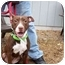 Photo 2 - American Pit Bull Terrier Mix Puppy for adoption in Kingston, New York - Sandy