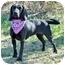 Photo 2 - Labrador Retriever/Hound (Unknown Type) Mix Dog for adoption in Portsmouth, Rhode Island - Zia