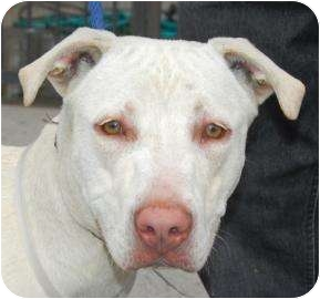 American Pit Bull Terrier Mix Dog for adoption in Brooklyn, New York - Missy