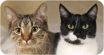 Domestic Shorthair Cat for adoption in Chicago, Illinois - Robin & Ella