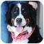 Photo 1 - Bernese Mountain Dog Dog for adoption in Mount Gilead, Ohio - Jacob