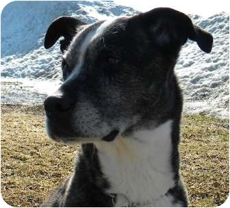 Boston Terrier/Boxer Mix Dog for adoption in Rigaud, Quebec - Glory