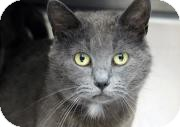 Russian Blue Cat for adoption in Farmington, Michigan - Ava