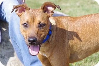 Shepherd (Unknown Type) Mix Dog for adoption in Elyria, Ohio - Star
