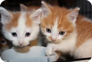 Maine Coon Kitten for adoption in Santa Monica, California - Aria