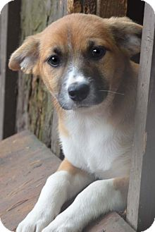 Dachshund/Terrier (Unknown Type, Small) Mix Puppy for adoption in Staunton, Virginia - Bay adopt fee $350