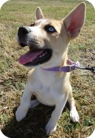 Boxer Mix Puppy for adoption in Larned, Kansas - Velma