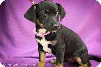 Chihuahua/Dachshund Mix Puppy for adoption in Broomfield, Colorado - Tinker