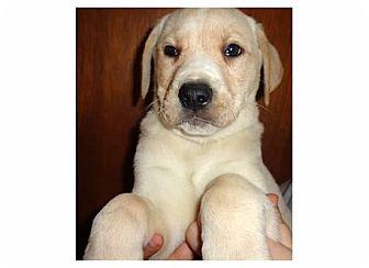 Labrador Retriever/Shepherd (Unknown Type) Mix Puppy for adoption in Pompton Lakes, New Jersey - Latte macchiato