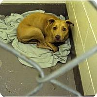 Adopt A Pet :: Bella - Indianapolis, IN
