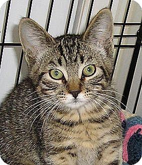 Domestic Shorthair Kitten for adoption in Glenwood, Minnesota - Winston